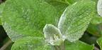 Rýmovník eucalyptový