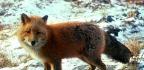 Šelma liška obecná
