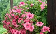 Balkonové rostliny dopolostínu