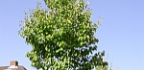 Malus tschonoskii – jabloň Tschonoského